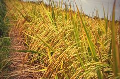 Golden rice field in Thailand Stock Images