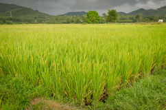 Golden rice field Royalty Free Stock Image