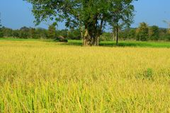 Golden rice field Stock Photography