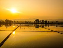 Golden rice fields. Asian golden rice field before sunset and sunlight reflect on the water for gold Stock Photography