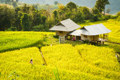 Golden rice fields in the Central Valley Stock Photography