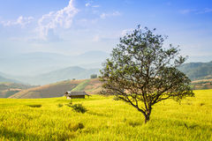 Golden rice fields in the Central Valley Royalty Free Stock Image