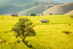 Golden rice fields in the Central Valley Royalty Free Stock Photos
