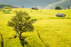 Golden rice fields in the Central Valley Stock Photo