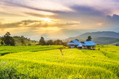 Golden rice fields in the Central Valley Stock Image
