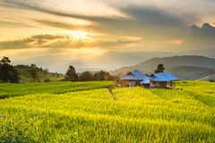 Golden rice fields in the Central Valley at sunset Stock Images