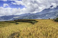 Golden Rice Fields in China Royalty Free Stock Photography