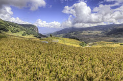 Golden Rice Fields in China. Golden rice fields in terraced paddies in the mountains of Yuanyang in southern Yunnan province, China Stock Photos
