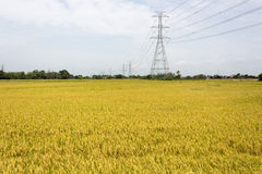 Golden rice fields royalty free stock photography