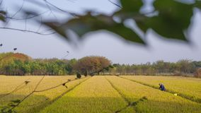 Golden rice fields in autumn stock images