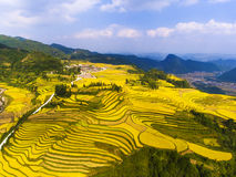 Golden rice fields in the mountain Stock Photography