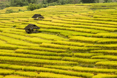 Golden rice fields. In the north of Thailand Royalty Free Stock Photos