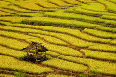 Golden rice fields in the north of Thailand. Golden rice filed in rainy day Royalty Free Stock Photos