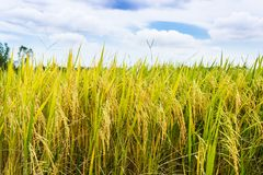 Golden rice filed with blue sky Stock Photos
