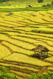 Golden rice filed in rainy day. Golden rice fields in the north of Thailand Stock Image