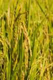 Golden rice on filed ready to be harvested in cool season Royalty Free Stock Photography