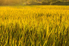 Golden rice on filed ready to be harvested in twilight Royalty Free Stock Image