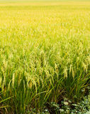 Golden rice filed Stock Photos