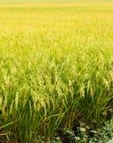 Golden rice filed Stock Photos