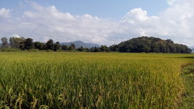 Golden rice And the green  in Chiang mai Stock Photography