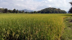 Golden rice And the green  in Chiang mai Royalty Free Stock Photos
