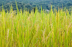 A golden rice Stock Photo