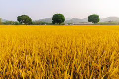 Golden rice has three trees Royalty Free Stock Image