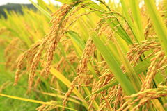 Golden Rice In The Farm Royalty Free Stock Photo