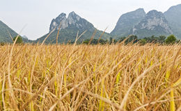 Golden rice in mountain landscape. Golden rice waves in the wind in Guilin, China with the scenic limestone mountains in the background Stock Photography