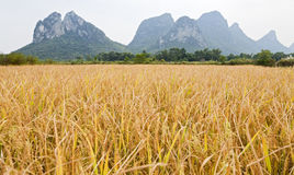 Golden rice in mountain landscape. Golden rice waves in the wind in Guilin, China with the scenic limestone mountains in the background Royalty Free Stock Photos