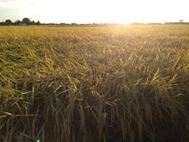 Golden. Rice ready for harvest stock photo
