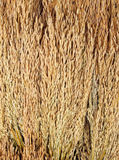 Golden rice spikes royalty free stock photos