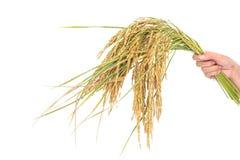 Golden rice spikes, Royalty Free Stock Photos