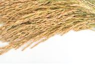 Golden rice spikes, Stock Photos