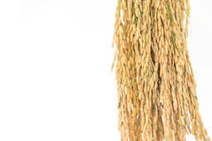 Golden rice spikes, Royalty Free Stock Images