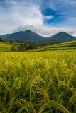 Golden Rice Stock Photos