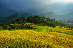 Golden rice terrace in Mu cang chai,Vietnam. Stock Photos