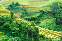 Golden rice on the terraced field Royalty Free Stock Image