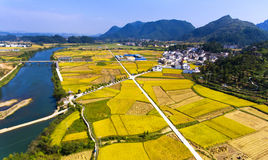 Golden rice terraced fields at harvesting time Stock Photo