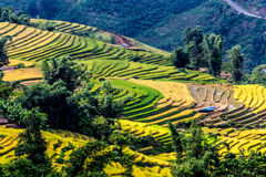 Golden rice terraced fields at harvesting time. Stock Photography