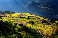 Golden rice terraced fields at harvesting time. Stock Image
