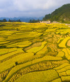 Golden rice terraced fields Stock Photo