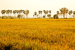 Golden rice. Royalty Free Stock Images