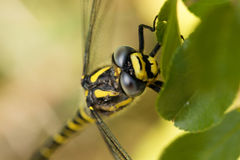 Golden ringed dragonfly Cordulegaster boltonii Royalty Free Stock Photo