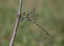 Golden Ringed Dragonfly Stock Images