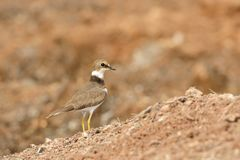 Golden Ringed Plover Stock Images