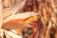 Golden ripe corn plant Royalty Free Stock Images