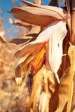 Golden ripe corn plant Stock Photography