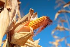 Golden ripe corn plant Stock Photos
