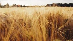 Golden ripe ears of wheat against sun light flares. Full HD 1080p Slowmo slow motion